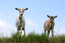 Free Goat Royalty Free Stock Photography - 16366327