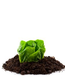 Free Green Lettuce In Erde Royalty Free Stock Photos - 16366328