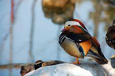 Free Mandarin Duck Royalty Free Stock Photography - 16367517