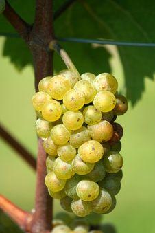 Free Green Chardonnay Grapes Stock Photo - 16367590