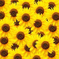 Free Sunflower Background Stock Photography - 16368742