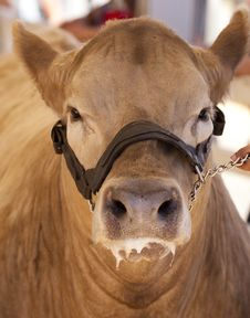 Free Cow Front Face Royalty Free Stock Image - 16369476