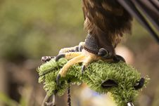 Free Eagle Tether Royalty Free Stock Image - 16369486