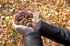 Free Handful Of Acorns Stock Photos - 16369613
