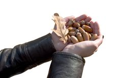 Free Handful Of Acorns Royalty Free Stock Images - 16369649