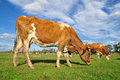 Free Cows On A Summer Pasture. Royalty Free Stock Photography - 16378157