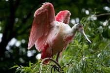 Free Roseate Spoonbill Royalty Free Stock Photography - 16370187