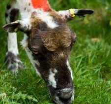 Free Sheep Royalty Free Stock Images - 16370359