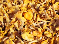Free Chanterelle Stock Images - 16370524