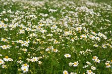 Free Field Of Daisies Stock Photos - 16371183