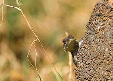 Lizard Peeping From A Rock Royalty Free Stock Photo