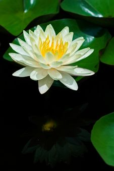 Free Yellow Water Lily Royalty Free Stock Photography - 16372267