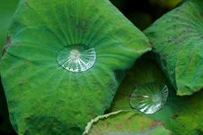 Free Water Drop On Lotus Leaf Royalty Free Stock Image - 16372306