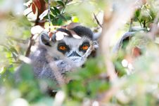 Free Lemur Looking Through Leaves Stock Photography - 16374372