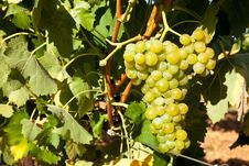 Ripe Grapes Hanging On The Vine