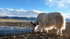 Free White Yak In Tibet Royalty Free Stock Photo - 16375585