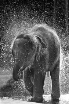 Happiness, Thai Calf Elephant Royalty Free Stock Image