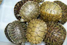 Free Turtle Stock Photos - 16375883