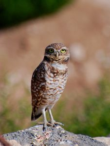 Free Burrowing Owl Standing Stock Photos - 16376093