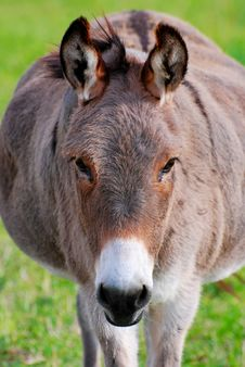 Free Donkey Portrait Stock Images - 16376094