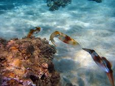 Free Kings Of Camouflage, The Cuttlefish Stock Photos - 16376483