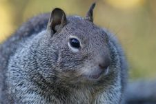 Free Squirrel Royalty Free Stock Photography - 16376657