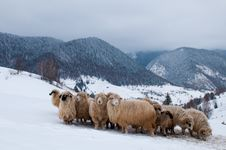 Sheep Flock In Mountain, In Winter Royalty Free Stock Images