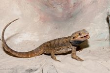 Free Bearded Dragon Or Agama Royalty Free Stock Image - 16376796