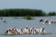 Free White Pelicans Flock Fishing Stock Photo - 16376800