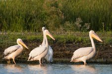 White Pelicans On Shore Royalty Free Stock Photos
