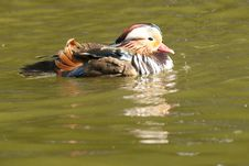 Mandarin Duck Drake Royalty Free Stock Images