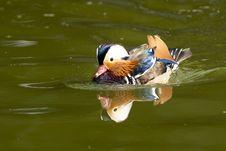 Free Mandarin Duck Drake Stock Image - 16376831