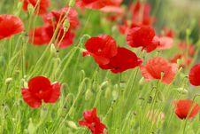 Free Wild Poppy Stock Images - 16377214