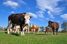 Free Cows On A Summer Pasture. Stock Photography - 16378002