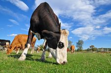 Free Cow On A Summer Pasture. Royalty Free Stock Images - 16378059
