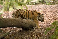 Free Tiger Royalty Free Stock Photos - 16378278