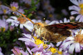 Free Painted Lady Butterfly, Vanessa Cardui Royalty Free Stock Photography - 16385487