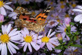 Free Painted Lady Butterfly, Vanessa Cardui Royalty Free Stock Photo - 16385495