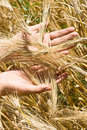 Free Hand Holding Wheat Ears Royalty Free Stock Photos - 16386648