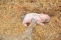 Free Pig Stock Image - 16389181