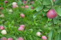 Free Ripe Apple On A Branch Among Green Leaves Royalty Free Stock Image - 16389726