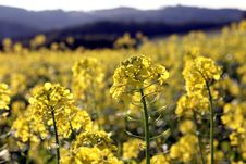 Free Rape Field Stock Image - 16382851