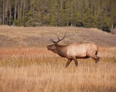 Free Elk Bugling Stock Photography - 16382872