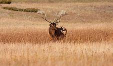 Free Elk Royalty Free Stock Image - 16382896