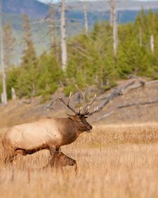 Free Elk Stock Image - 16382911