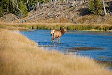 Free Elk Cow Stock Photo - 16382930