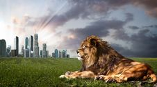 Powerful Lion Resting At Sunset. Royalty Free Stock Photography