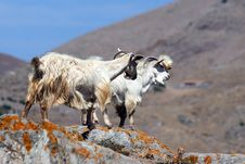Free Goats Stock Photography - 16383492