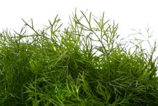 Free Dill Background Royalty Free Stock Image - 16384076