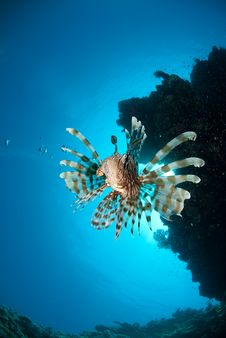 Free Front View Of A Lion Fish Stock Photos - 16385153